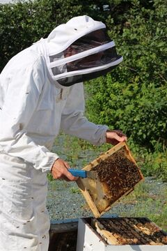 Paradise, N.L., beekeeper Aubrey Goulding, operator of Paradise Farms Inc., works with one of his hives recently. Newfoundland's healthy honeybees are an increasing draw for researchers in the race to understand why colonies across much of the globe are struggling or dying off.