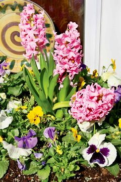 Hyacinths are a springtime bulb you shouldn't overlook. They grow to 20 or 30 centimetres and have an ornate appearance, usually with blue, purple, pink or white flowers.