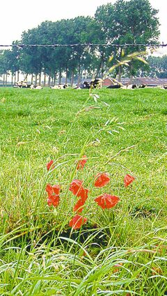 Poppies grow wild across Europe.