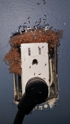 Ants nest in an electrical outlets in this undated handout photo. Opening a bag of sugar to find ants crawling about is an experience no one wants to have, yet ants are a common pest many householders battle annually. THE CANADIAN PRESS/HO - Daniel Pratap