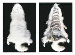 SUPPLIED PHOTOWillow Rector�s The Singing Bone (embroidery on Arctic fox), from her series entitled Trapped.
