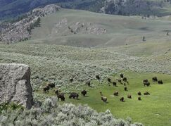 In this June 19, 2014 photo, bison graze inside Yellowstone National Park in Wyoming. Yellowstone officials said Wednesday, July 30, 2014, the park is seeking public comment on a proposal to capture and quarantine wild bison so disease-free animals can be relocated to create new herds outside the park. The announcement comes after the Department of Interior in June 2014 identified 20 parcels of public lands in 10 states that could be suitable for relocated Yellowstone bison. Public meetings on the quarantine proposal are scheduled for Aug. 18 in Gardiner, Mont., and Aug. 19 in Bozeman, Mont. (AP Photo/Robert Graves)