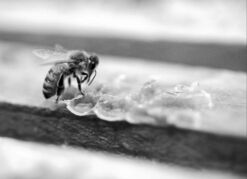 Marcio Jose Sanchez / The Canadian Press filesIt has been a tough year for Manitoba honey producers.