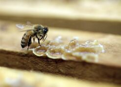 A bee works on a honeycomb at a California apiary in Los Banos on July 16, 2014. RCMP in Brandon, Man., are investigating a report that thousands of honey bees have been poisoned in the region recently. THE CANADIAN PRESS/AP, Marcio Jose Sanchez