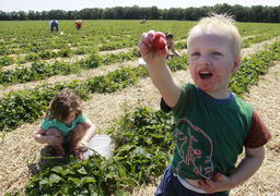 Favourite photo 2014 - After introducing myself to the family out picking strawberries at  Boonstra Farms in Stonewall Mb. on a beautiful July summer day,  two-year-old Callen saw my camera and must have known the picture I wanted to capture. While his family patiently was gathering berries in their pails, he proceeded to hunt around for perfect strawberries showing me each one before it was gone. For me, the picture captured a universal moment in childhood you can't help but smile at with gratitude for his mother Lindsey Mitton to let the moment unfold without a clean up. July 28, 2014