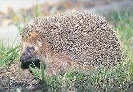 Hedgehogs make excellent pets if you get them young and work with them often.