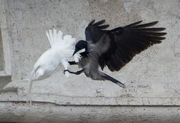 FILE - In this , Sunday, Jan. 26, 2014 file photo, a dove which was freed by children with Pope Francis during his Angelus prayer, is attacked by a black crow in St. Peter's Square, at the Vatican. Balloons, not doves, were released as peace symbols Sunday, Jan. 25, 2015 in St. Peter's Square, a year after an attack by a seagull and a crow on the symbolic birds sparked protests by animal rights groups. For years, children, flanking the pope at a window of the papal studio overlooking the square, have released a pair of doves on the last Sunday in January, a month the Catholic church traditionally dedicates to peace themes. (AP Photo/Gregorio Borgia, File)