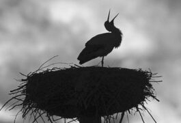 In this picture taken Wednesday, Feb. 19, 2014, a stork stands in its nest in front of a lit-up evening sky near Sandershausen,�Germany, Storks have returned unusually early back from their winter home. (AP Photo/dpa, Uwe Zucchi)
