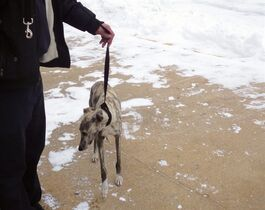 This photo provided by the FDNY, a whippet named Burt that vanished on the streets of New York City five months ago is walked on a leash at the Fire Department of New York's training facility on Randall's Island in New York on Tuesday, Jan. 27, 2015. Burt, whose Facebook page, describes him as both