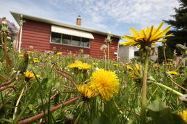 A home front lawn loaded with dandelions on Selkirk