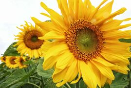 Farmers expect to see a large increase in sunflower-seed production this year.