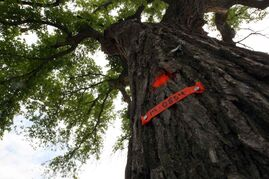 Grandma Elm in Assiniboine Park is one of 12 trees that will be cut down after being infected with Dutch elm disease.