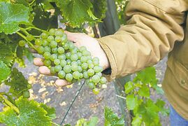 Grapes are typically harvested in early to mid-September. Some grapes require a different cultivar for pollination -- check with your local garden center and purchase disease-resistant varieties.