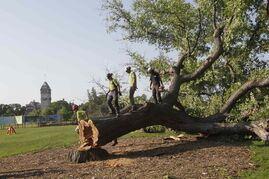 'Grandma Elm' was removed from Assiniboine Park Tuesday due to Dutch elm disease.