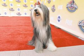 Dogs roll out the red carpet for Fox's 'Cause for Paws: an All-Star Dog Spectacular' on Thursday, in Santa Monica, Calif.
