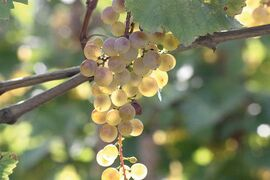 There are at least 525 varieties of grapes grown in Georgia.