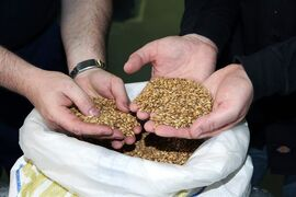 In this undated photo provided by Green Flash Brewing Co., Alexis Briol of Brasserie St-Feuillien in Belgium, left, and Green Flash brewmaster Chuck Silva, inspect a bag of malted barley before brewing beer. San Diego-based Green Flash is making and selling fresh beer in the European market under a handshake deal with Brasserie St-Feuillien. Some of the nation's largest craft breweries are setting up shop in European countries famous for defining age-old beer styles to help quench a growing thirst for American craft beer overseas. (AP Photo/Green Flash Brewing Co.)