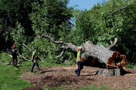 Assiniboine Park's Grandma Elm is removed after contracting Dutch Elm disease.