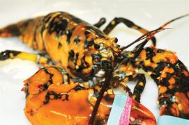 This July 29, 2014 photo shows a calico lobster at the Explore the Ocean World Oceanarium in Hampton, N.H. Captain Josiah Beringer, fishing vessel Patricia Lynn, caught the lobster in one of his traps and donated the 1 �-pound, 5-year-old male lobster to the Explore the Ocean World Oceanarium. Ellen Goethel, a marine biologist and owner of the oceanarium said calico lobsters are the