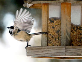 A chickadee takes flight from a feeder.
