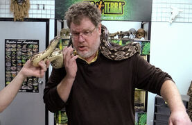 Columnist Doug Speirs avoids the head of a Dumeril's boa snake on his neck at Winnipeg Reptiles on Friday, in advance of the Manitoba Reptile Breeder's Expo at Victoria Inn this weekend.
