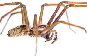 A giant house spider is shown in this undated handout photo. Big and hairy spiders are persistent home invaders every fall, but their reputation for turning up in a favourite shoe or coffee cup and scaring people witless is completely undeserved, says a spider expert at the Royal B.C. Museum. THE CANADIAN PRESS/HO - Royal BC Museum