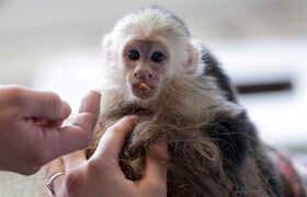 FILE - In this April 2, 2013 file picture, Capuchin monkey