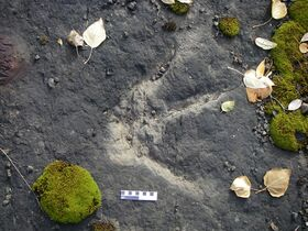 A dinosaur footprint is shown near Williston Lake, B.C., in this handout photo, taken in October 2008. A type of dinosaur Autobahn, with a riot of ancient footprints that are likely more than 100 million years old, has been discovered in northeastern British Columbia. THE CANADIAN PRESS/HO-Rich McCrea