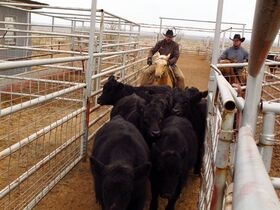Cowboys on the Muleshoe Ranch in Borden County work to get some cattle into a truck on Dec. 3, 2014. The ranch and others across the state suffered through the state's driest year ever in 2011, forcing some to sell off many if not all of their animals or sending their cattle to other states to graze. Many ranchers have since worked to diversify their incomes with other enterprises including leasing water and hunting acres for deer, antelope and quail. (AP Photo/Betsy Blaney)