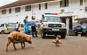 A pig with it's babies walks past an ambulance used at the Connaught Hospital, as part of their Ebola virus fleet, during a three-day lockdown to prevent the spread on the Ebola virus in Freetown, Sierra Leone, Sunday, Sept. 21, 2014. Volunteers going door to door during a three-day lockdown intended to combat Ebola in Sierra Leone say some residents are growing increasingly frustrated and complaining about food shortages.