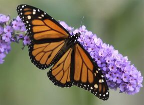 A monarch butterfly spreads its wings as it feeds on the flowers of a butterfly bush in Omaha, Neb., in this Wednesday, Sept. 14, 2005 file photo. A concerted national effort to plant the traditionally unloved milkweed is needed to reverse a precipitous decline in the monarch butterfly population, conservationists say. THE CANADIAN PRESS/AP/Nati Harnik