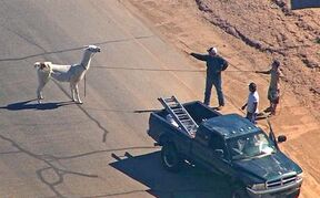 FILE - In this image taken from video and provided by abc15.com on Feb. 26, 2015, men lasso one of two quick-footed llamas after they dashed in and out of traffic before they were captured in Sun City, Ariz. The llamas that became a social media sensation running around the Phoenix suburb last month are saying goodbye to the spotlight. Owners Bub Bullis and Karen Freund say Kahkneeta and Laney, whose televised dash mesmerized the Internet and Sun City residents, will likely be making their last public appearance Saturday, March 28 at a Phoenix race track. (AP Photo/abc15.com) MANDATORY CREDIT.