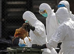 Health workers in full protective gear pick up a killed chicken after suffocated them by using carbon dioxide at a wholesale poultry market in Hong Kong, Tuesday, Jan. 28, 2014. Canadian health authorities say they have have diagnosed a case of H7N9 bird flu in a British Columbia resident who recently returned from China. THE CANADIAN PRESS/AP/Vincent Yu