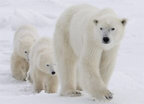 A new study suggests that even the High Arctic won't remain a sanctuary for polar bears if climate change continues at its current pace.The study, published in an online science journal, says business-as-usual climate projections mean the bears face starvation and reproductive failure throughout Canada's Arctic islands by the end of the century. A polar bear mother and her two cubs walk along the shore of Hudson Bay near Churchill, Man. Wednesday, Nov. 7, 2007. THE CANADIAN PRESS/Jonathan Hayward