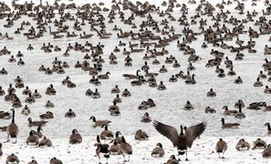 Thousands of Canada geese converge on open water at Fort Whyte Alive on Thursday. Despite the recent cold, most of the spring snowmelt has already taken place, lowering the flood risk.