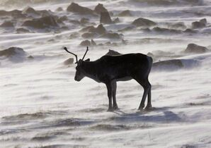 A wild caribou roams the tundra near The Meadowbank Gold Mine located in the Nunavut Territory of Canada on March 25, 2009. The Alberta government is selling off more energy leases on endangered caribou habitat and this sale is more than 10 times the size of previous ones. THE CANADIAN PRESS/Nathan Denette
