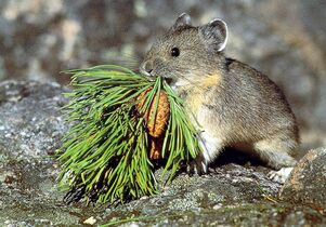 The American pika is among the species expected to become extinct because of  global warming.