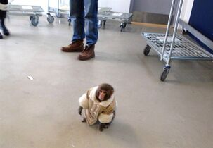 A small monkey wearing a winter coat and a diaper apparently looks for its owners at an IKEA in Toronto on Sunday Dec. 9, 2012. Darwin the Ikea monkey is in the market for a new home and is looking for help purchasing it. THE CANADIAN PRESS/HO, Bronwyn Page