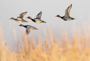 Redhead ducks fly low in Delta Marsh in 2012.