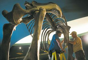 Linda Davidson / The Associated Press There's no guide for deconstructing a mammoth skeleton other than do it very carefully.