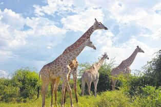 Giraffes in the Chobe National Park in Botswana.