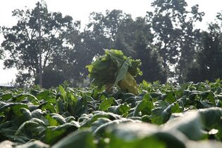 In this Thursday, Aug. 7, 2014, photo, a farm worker carries a load of picked tobacco leaves at Chris Haskins' farm in Chatham, Va. Starting next month, America's remaining tobacco growers will be totally exposed to the laws of supply and demand. The very last buyout checks go out in October to about 425,000 tobacco farmers and landowners. They're the last holdovers from a price-support and quota system that had guaranteed minimum prices for most of the 20th century, sustaining a way of life that began 400 years ago in Virginia. (AP Photo/Johnny Clark)
