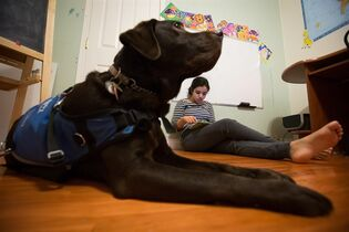 Maya Kaler, 13, who has autism, watches a video as her service dog Pepe, a female chocolate labrador retriever, sits nearby at her home in Surrey, B.C., on Saturday December 20, 2014. THE CANADIAN PRESS/Darryl Dyck