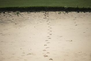 Animal track prints of are seen on the Olympic Golf course in Rio de Janeiro, Brazil, Wednesday, March 25, 2015. The mayor of Rio Eduardo Paes, has defended the city's controversial Olympic golf course, which has become a touchstone of criticism from environmental activists and is at the center of complicated legal wranglings since the course was partially carved out of a nature reserve. (AP Photo/Felipe Dana)