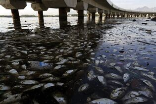 Dead fish and trash float in the polluted Guanabara Bay in Rio de Janeiro, Brazil, Wednesday, Feb. 25, 2015. Rio de Janeiro's state environmental agency is trying to determine why thousands of dead fish have been found floating where next year's Olympic sailing events are to be held. (AP Photo/Leo Correa)