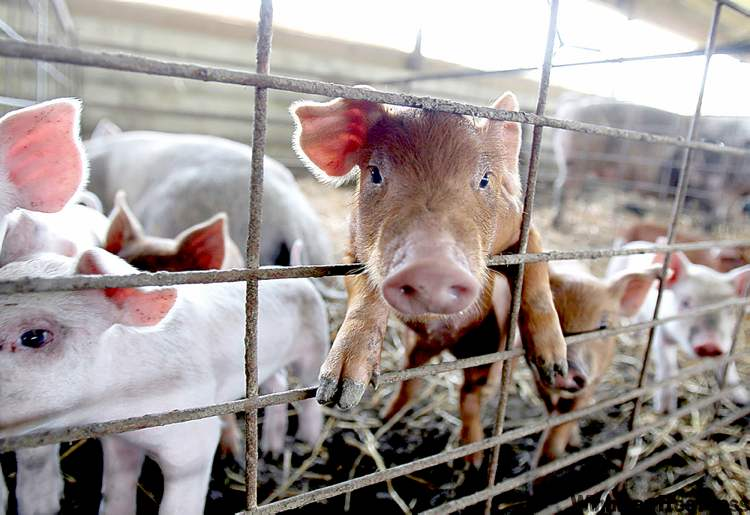 Jeff Roberson / The Associated Press archivesManitoba�s Genesus shipped 800 hogs to China on Sunday and will soon be sending seven planeloads of pigs to Russia.