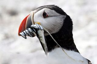 An Atlantic puffin checks its surrounding off the coast of Maine on Aug. 1, 2014. THE CANADIAN PRESS/ AP, Robert F. Bukaty