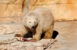 Male bear cub Blizzard looks up as he munches on raw fish at the Assiniboine Park Zoo during his first view to the public with his sibling Star on Friday.