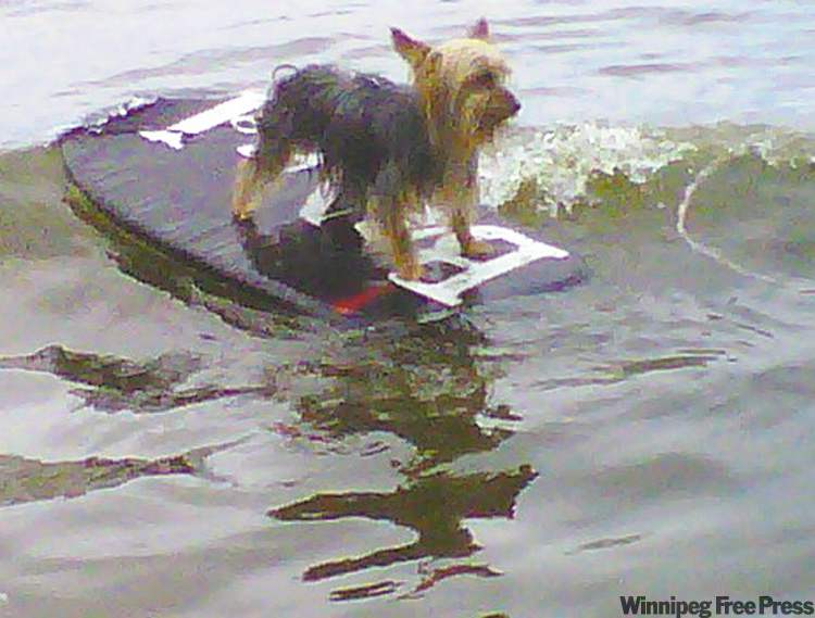 Here is Rascal the Yorkshire Terrier riding a wave at our cottage on Lee River, Lac Du Bonnet. He loves the boogie board and literally jumps right on it — super funny!  — Deborah LeBlanc