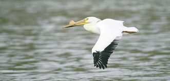 An American white pelican flies over the Red River.